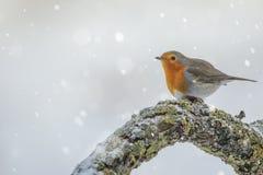 一只知更鸟在冬天 图库摄影
