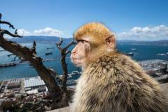 一只短尾猿的特写镜头在直布罗陀 图库摄影