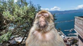 一只短尾猿的特写镜头在看照相机的直布罗陀 库存照片