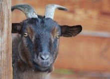 一只矮小山羊。 免版税库存图片