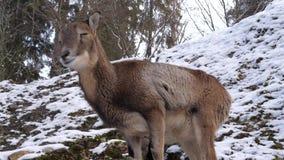 一只石山羊在冬天 影视素材