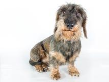 一只硬毛的达克斯猎犬 库存图片