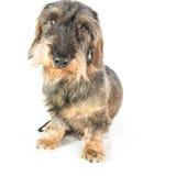 一只硬毛的达克斯猎犬 图库摄影