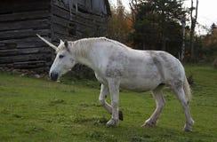 一只神话独角兽在一个谷仓旁边的一个象草的领域吃草在加拿大 免版税库存图片
