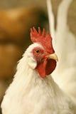 一只空白矮小的Serama雄鸡的纵向 免版税库存图片