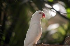 一只空白鹦鹉 库存图片
