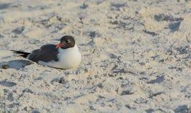 一只笑的鸥在印地安岩石海滩的Leucophaeus Atricilla,墨西哥湾,佛罗里达 免版税图库摄影