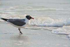 一只笑的鸥在海浪的Leucophaeus Atricilla在印地安岩石靠岸,墨西哥湾,佛罗里达 免版税图库摄影