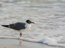 一只笑的鸥在海浪的Leucophaeus Atricilla在印地安岩石靠岸,墨西哥湾,佛罗里达 免版税库存照片