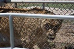 一只笼中的母雌狮通过篱芭 免版税库存图片