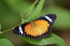 一只简单的老虎蝴蝶的图象在绿色叶子的 昆虫 免版税库存图片