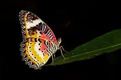 一只简单的老虎蝴蝶的图象在黑背景的 昆虫 库存照片