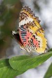 一只简单的老虎蝴蝶的图象在绿色叶子的 昆虫动物 免版税库存照片