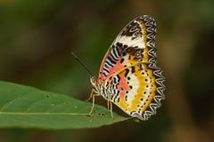 一只简单的老虎蝴蝶的图象在绿色叶子的 昆虫动物 库存图片