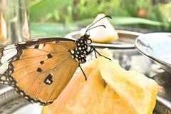 一只简单的老虎蝴蝶 免版税库存照片