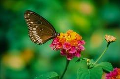 一只简单的蝴蝶 免版税库存照片