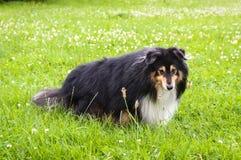 一只粗砺的大牧羊犬的一张前面画象 免版税库存图片