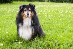 一只粗砺的大牧羊犬的前面外形在一片绿色草原 免版税库存图片