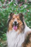 一只粗砺的大牧羊犬的画象在减速火箭的颜色的 图库摄影