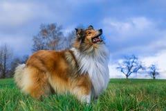 一只粗砺的大牧羊犬的画象秋天,黄色颜色 免版税库存照片