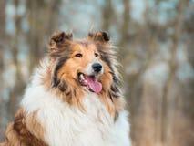 一只粗砺的大牧羊犬的画象 免版税库存照片