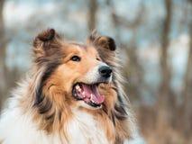 一只粗砺的大牧羊犬的画象 免版税库存图片