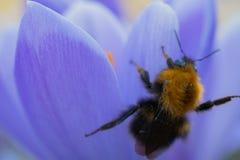 一只粗野的土蜂会集从一朵紫色花的花粉 免版税库存图片
