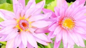 一只紫色莲花和蜂 股票录像