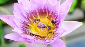 一只紫色莲花和蜂 股票视频