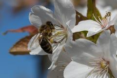 一只繁忙的蜂蜜蜂 免版税库存照片