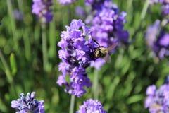 一只繁忙的蜜蜂从淡紫色花收集花蜜 免版税库存图片