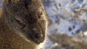 一只红收缩的鼠的面孔 免版税图库摄影