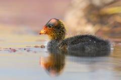 一只红有节的老傻瓜小鸡在寂静的水池游泳 免版税库存图片