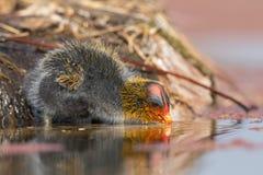 一只红有节的老傻瓜小鸡在池塘离开巢安全游泳 免版税库存图片