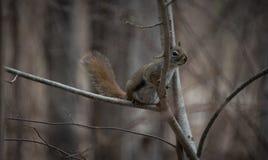 一只红松鼠在附近跟随我他在森林居住在村庄附近的地方 免版税库存照片