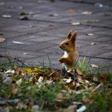 一只红松鼠坐走道在公园在秋天 库存照片
