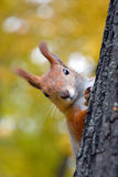 一只红松鼠的画象 免版税库存图片
