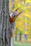 一只红松鼠的画象 库存照片