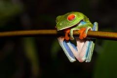 一只红眼睛的叶子青蛙 免版税库存照片