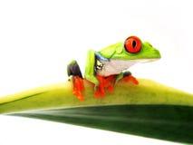 红眼睛的雨蛙(108), Agalychnis callidryas 库存图片