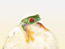 红眼睛的雨蛙Agalychnis callidryas 免版税图库摄影