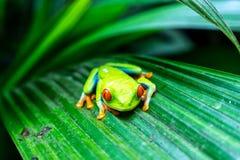 一只红眼睛的雨蛙-哥斯达黎加 库存图片