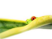 红眼睛的雨蛙(109), agalychnis callidryas 库存图片