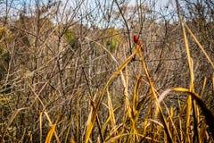 一只红色北主要鸟在AveryIsland,路易斯安那 免版税库存照片
