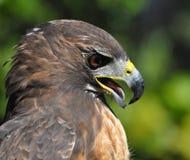 一只红色尾巴鹰的画象 免版税库存图片