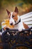一只红色杂种犬的纵向在长凳的 免版税库存照片