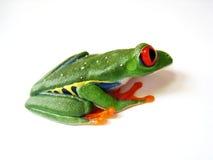 红眼睛的雨蛙(82) agalychnis callidryas 免版税库存图片