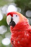 一只红色猩红色金刚鹦鹉的特写镜头在哥斯达黎加 库存照片