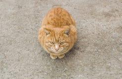 一只红色猫坐地面和看 免版税库存照片