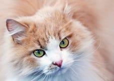 一只红色猫的纵向 免版税库存照片
